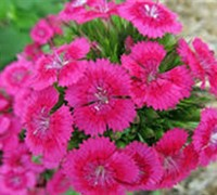 Shop Dianthus Jolt Pink - 3 Count Flat of Pint Pots