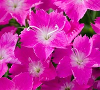 Shop Dianthus  Kahori Pinks - 1 Gallon