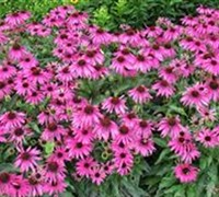 Shop Butterfly Kisses Coneflower - 1 Gallon
