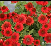 Salsa Red Coneflower