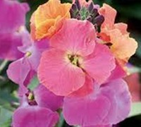 Shop Erysimum Winter Party - 1 Gallon