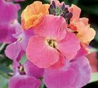 Erysimum Winter Rouge