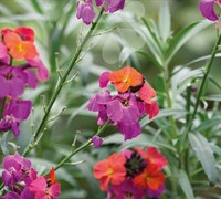 Shop Erysimum Winter Rouge - 1 Gallon