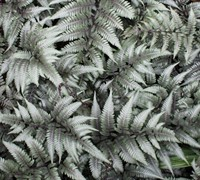 Godzilla Giant Japanese Painted Fern
