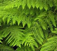 Shop Giant Chain Fern - 1 Gallon