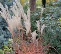 Little Miss Miscanthus - Poaceae Miscanthus Sinensis Little Miss