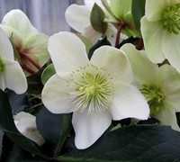 Helleborus Gold Collection 'Love Bug - Ranunculaceae Helleborus Niger Love Bug