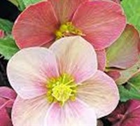 Shop Helleborus Gold Collection 'Madame Lemonnier' - 1 Gallon