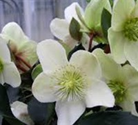 Helleborus Gold Collection 'Maestro'