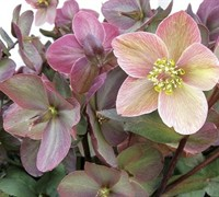 Helleborus Gold Collection 'Platinum Rose'