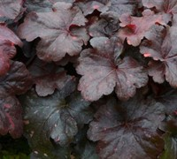 Shop Heuchera Georgia Plum - 1 Gallon