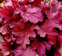 Heuchera Georgia Plum