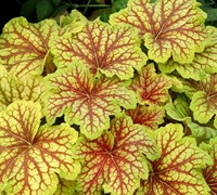 Shop Heuchera Red Lightning - 1 Gallon