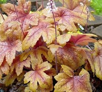 Heucherella Twilight