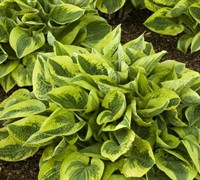 Shop Fantabulous Hosta Lily - 1 Gallon