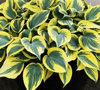 Mini Skirt Hosta Lily - Liliaceae Hosta Mini Skirt