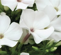 Flame Marine Blue and White Dwarf Garden Phlox -Polemoniaceae Phlox Paniculata Flame Marine Blue and White