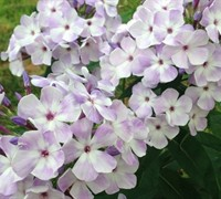 Flame Marine Blue and White Dwarf Garden Phlox