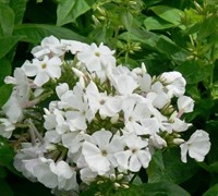 Shop Flame White Dwarf Garden Phlox - 1 Gallon