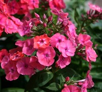 Shop Flame Coral Dwarf Garden Phlox - 1 Gallon (Free Shipping)