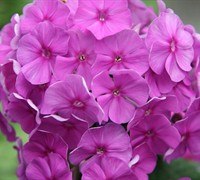 Shop Flame Purple Dwarf Garden Phlox - 1 Gallon