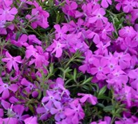 Shop Phlox Paparazzi Britney - 8 Count Flat of Quart Pots
