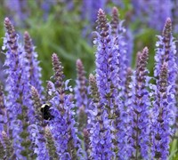 Bordeau Steel Blue Salvia