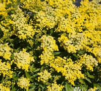 Little Lemon Dwarf Goldenrod