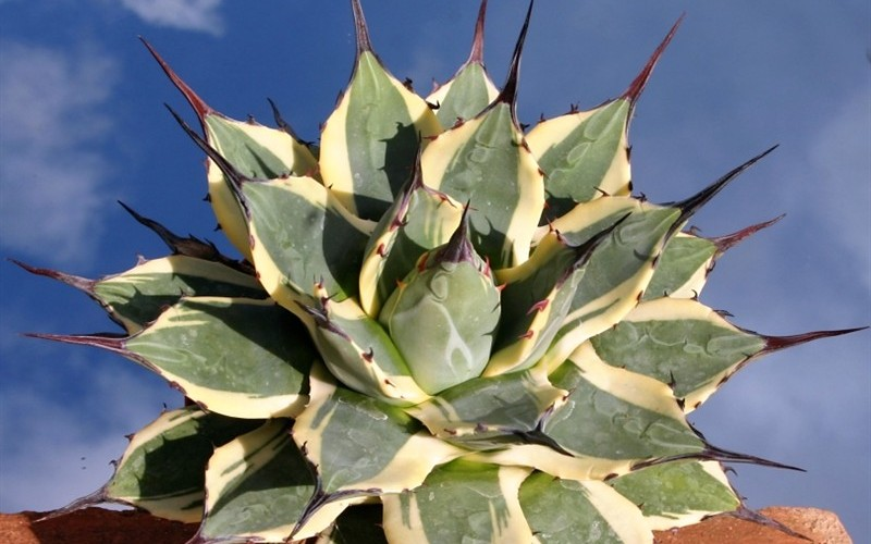 Cream Spike - 8 Count Flat of Quart Pots - Perennial Plants | ToGoGarden