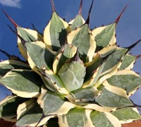 Agave 'Cream Spike' - Agavaceae Agave Appalanta Cream Spike
