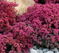 Sunsparkler  Firecracker Sedum - Crassulaceae Sedum Sunsparkler Firecracker