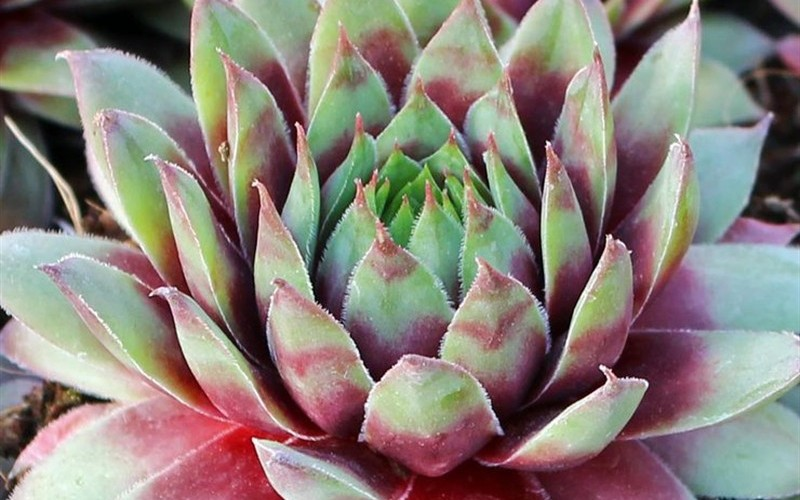 Sempervivum  Red Beauty