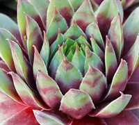 Shop Sempervivum  Red Beauty - 3 Count Flat of Pint Pots