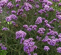 Shop Verbena bonariensis  Lollipop - 10 Count Flat of Quart Pots