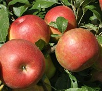 Shop Honey Crisp Apple - 5 Gallon