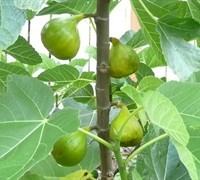 Italian Honey Figs
