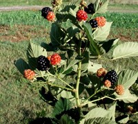 Shop Prime Ark 45 Blackberry - 1 Gallon