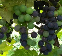 Shop Champanel Grapes - 3 Gallon