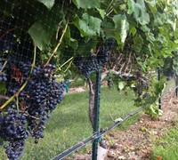 Shop Black Spanish Grapes - 3 Gallon