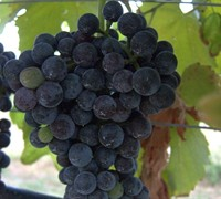 Shop Lenoir Grapes - 3 Gallon