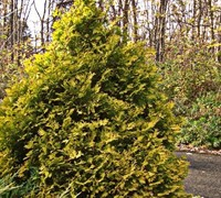 Shop George Peabody Arborvitae - 3 Gallon