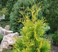 Shop Yellow Ribbon Arborvitae - 1 Gallon