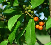 Eagleston Holly