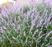 Shop Mexican Bush Sage - 1 Gallon
