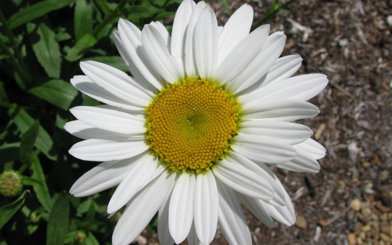 Snow Cap Shasta Daisy Photo 2