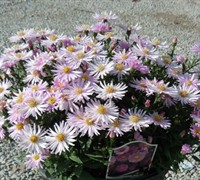 Shop Kickin Pink Chiffon Aster  - 1 Gallon