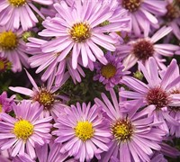 Shop Woods Pink New York Aster - 1 Gallon
