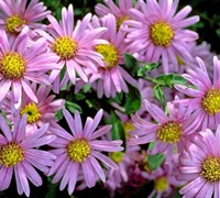 Woods Pink New York Aster