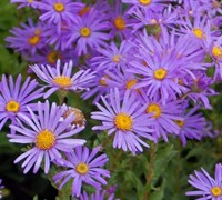 Woods Purple New York Aster