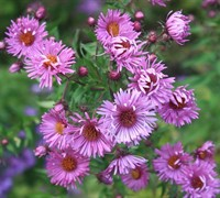 Shop Woods Purple New York Aster - 1 Gallon